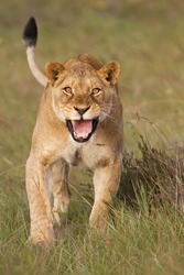 Angry lioness charging