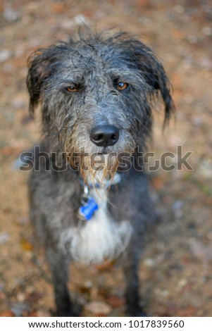 ANGRY LOOKING AMBER ORANGE EYES OF A BLACK WET DOG ON BROWN NATURAL BACKGROUND #1017839560