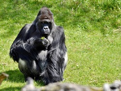 Angry looking gorilla holding a bunch of grass in the wild. Alpha of the primate during meal. Hairy primate sitting in a meadow