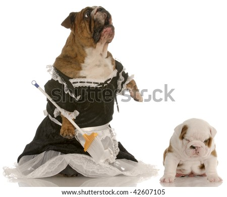 angry mother - english bulldog wearing maid dress standing up sweeping floor beside puppy with smug expression