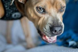 Angry Pitbull or Growling Dog