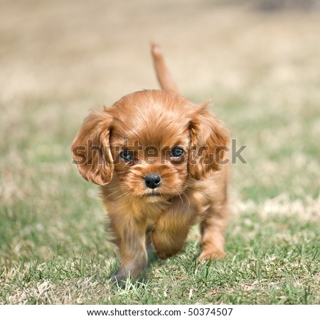 stock-photo-angry-puppy-cavalier-king-charles-spaniel-with-ruby-coloration-50374507.jpg