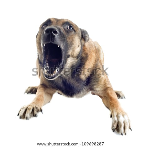angry purebred belgian sheepdog malinois on a white background, focus on the eye