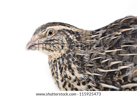 Angry quail is photographed on white textile background