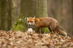 Angry red fox, vulpes vulpes, standing in the dry foliage. Dominant predator with fluffy fur and big tail hunting in its natural habitat. Adult mammal feeling threatened. Alert animal in danger.