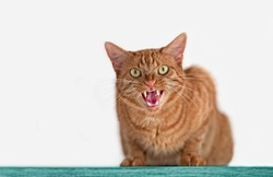 Angry red tabby cat.