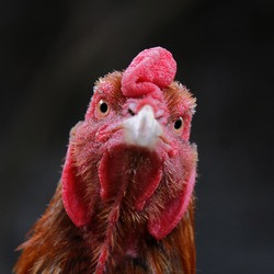angry rooster face from the front side. portrait of male chicken. Eyes and beak funny rooster