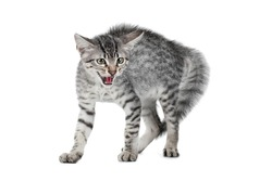 Angry, scared cat isolated on white background (Egyptian Mau)