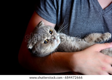 Angry Scottish Fold cat in the hands of the owner.