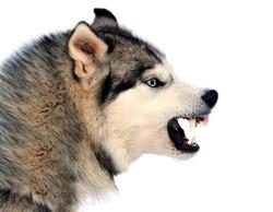 Angry siberian husky dog winter portrait