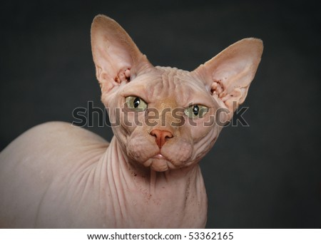 angry Sphynx cat