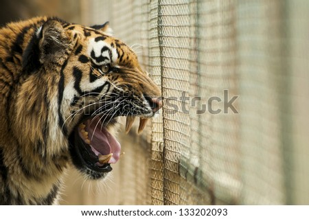 Angry tiger in the cage