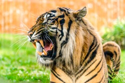 Angry tiger roaring and showing fangs in open mouth. Tigers portrait