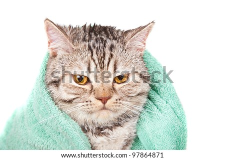 angry wet cat in green towel