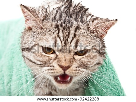angry wet cat in green towel portrait