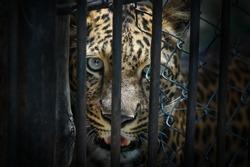 Angry wild Jaguar behind bars of a zoo. Predator.