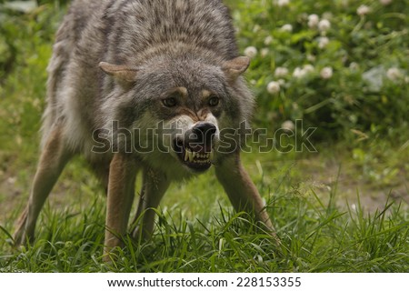 Angry wolf #228153355