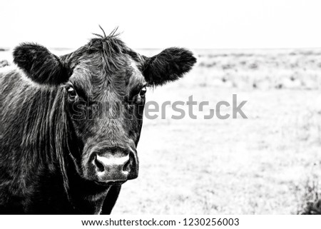 Angus cow black and white close up