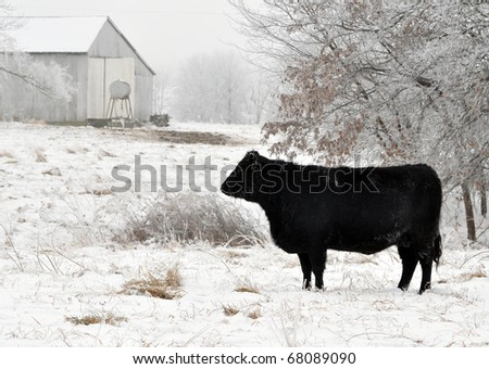 Angus cow grazing in the snow and fog on a winter day