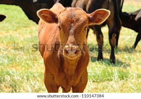 Angus cross calves grazing in a field in the Willamette Valley in Oregon #110147384