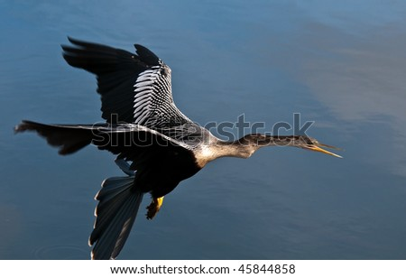 Anhinga in flight. The Anhinga (Anhinga anhinga), is a water bird of the warmer parts of the Americas.  It is a cormorant-like bird.