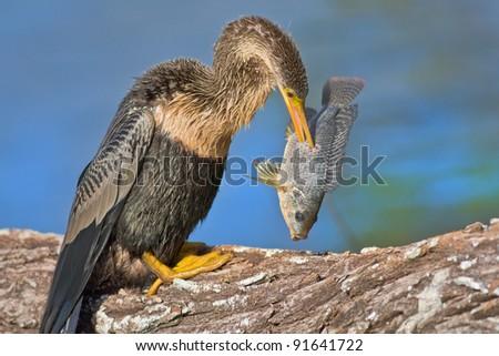 Anhinga with catch in the beak. Latin name - Anhinga anhinga.