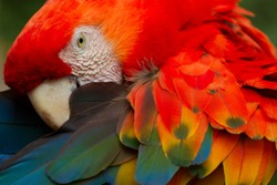 animal amazon ecuador jungle macaw brazil rainforest bird south peru colors scarlet the red macaw is a massive colourful macaw it is native towards moist perennial forestry in the american tropics ran