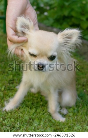 Animal and human friendship, man\'s hand caressing a small longhair chihuahua