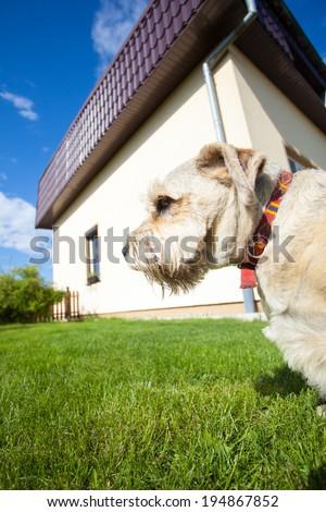 Animal as mans best friend. Portrait of adult beige dog pet on the walk in the garden. Exterior.
