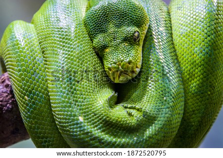 Photo of  animal, asia, asian, background, black, boa, carnivore, closeup, colorful, crawling, creepy, danger, endangered species, exotic animal, exotic animals, exotic snake, fauna, freckled python, indonesia,