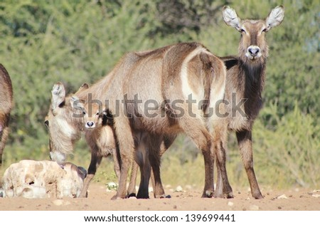 Animal Babies and Moms - Waterbuck - Wildlife from Africa - A family unit, displaying love, affection and care as they lick salt rock on a game ranch in Namibia. #139699441