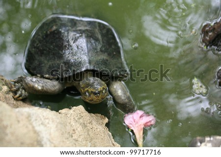 Animal background: big turtle climbing on a rock near the pond