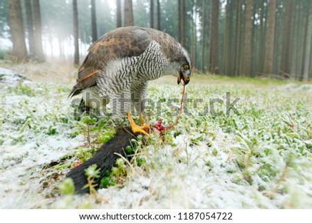 Animal behaviour, wildlife scene from nature. Goshawk with killed black squirrel in forest with winter snow - photo with wide angle lens. Wildlife scene in nature habitat. Forest with Bird of prey.