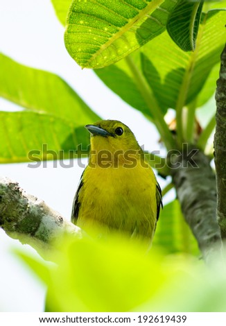 animal, bird, branch, canary, claws, colorful, colourful, conservation, creature, ecology, eyes, natural, nature, perch, perched, serinus, vantage, watchful, wild, wilderness, wings, yellow,thai