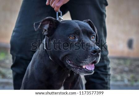 Animal - black dog   #1173577399