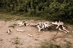 Animal bones by the road
