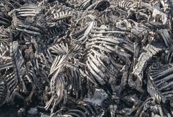 Animal bones piled up in pile. Death, meat, murder