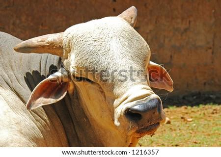 Animal - Bull
