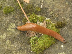 animal called Limax flavus, cellar slug,