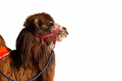 Animal camel brown fluffy, long hair, domesticated pet isolated on white background.