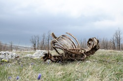 Animal carcass lies in nature. Dead animal and decaying carcass. Animal remains, bones and skull in grass. Skeleton of dead horse. The cycle of life. Food for vultures. Rotting animal
