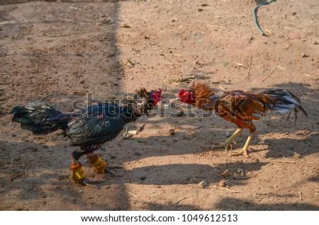 animal chicken in thailand #1049612513