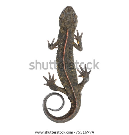animal chinese salamander