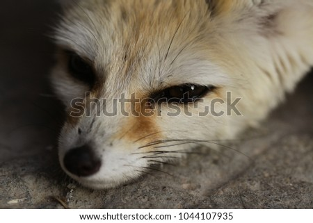 animal close up cute brown fennec fox face macro on a rockin a