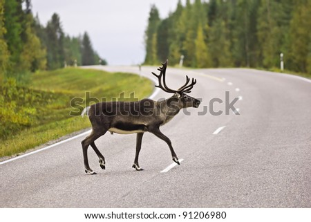 Animal crossing the road - a wild rein deer on a high traffic road from the Swedish countryside