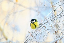 animal cute little chickadee bird sitting on the branches of birch trees covered with frost on a winter morning in the Park