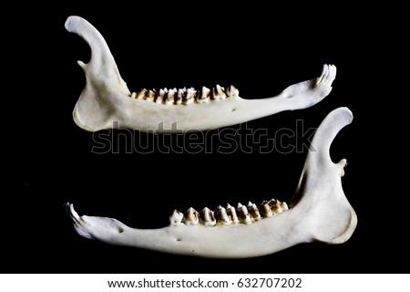 Animal Deer Jaw Bone Skeleton stock photo