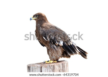 animal eagle bird  isolated on white