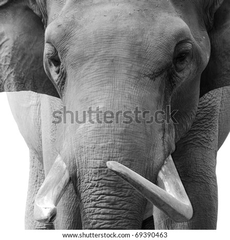 animal elephant head black and white
