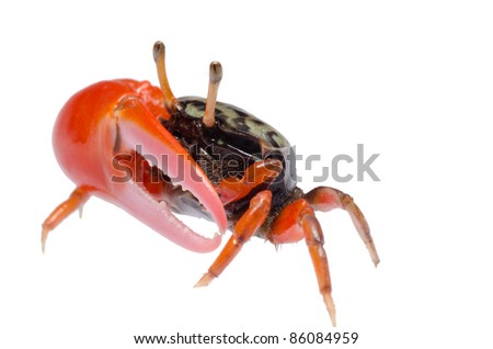 animal fiddler crab isolated on white background